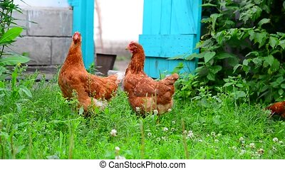 beautiful thoroughbred chickens pinch the grass in courtyard...