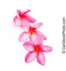 beautiful three frangipani flowers isolated on the background white