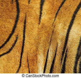 beautiful tiger fur texture of real tiger skin and fur