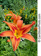 Beautiful Tiger lily in the summer garden - Orange Day Lily...