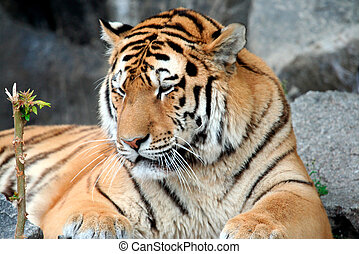 Beautiful Tiger portrait