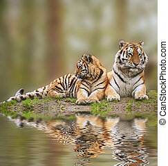 Beautiful tigress relaxing on grassy hill with cub reflection in water