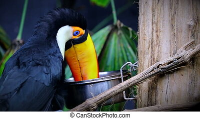 Beautiful Toco Toucan Eating - Toco Toucan (Ramphastos Toco)...