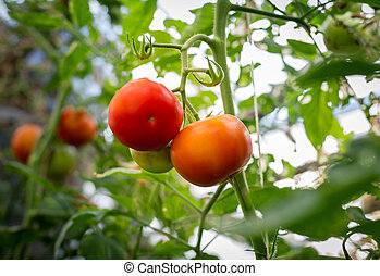Beautiful tomatoes grown in a greenhouse.