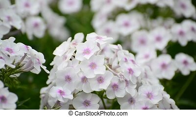 Beautiful top white varietal phlox close-up