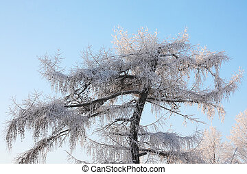 Beautiful tree in frost in winter ay background of blue sky.