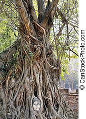 beautiful tree with Buddha's head - perfect unusual tree...