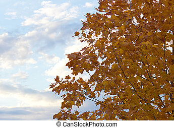 Beautiful tree with yellow autumn leaves with a blue sky background