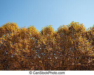 Beautiful trees with yellow leaves on a background of blue sky