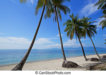 beautiful tropical beach white sand coconut tree with blue sky on samui island