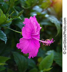 beautiful tropical flowers, the Bush strizhennom ratut. many bright juicy colors in hot climates. tropical
