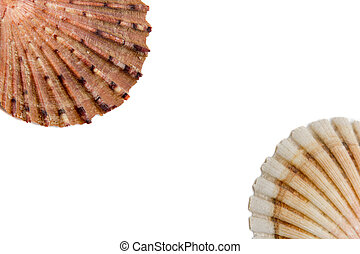 shells on a white background