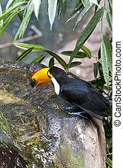 Beautiful tucan drinking water on jungle