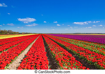 Beautiful tulip field rows with sky horizon