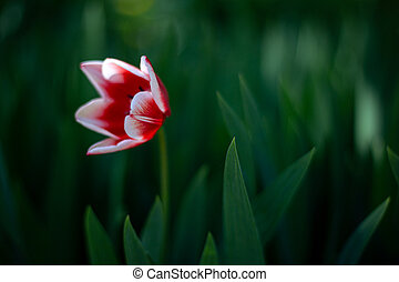 Beautiful tulip with fresh green leaves in soft light at blur background.