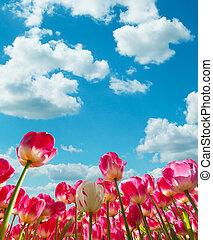 Beautiful tulips field in the Netherlands