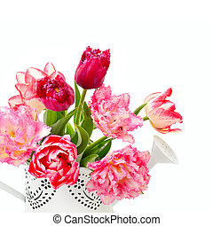 Beautiful tulips in a decorative watering can isolated on a white background. Free space for text.