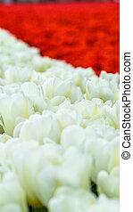 Beautiful tulips in a Dutch landscape.
