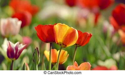 Beautiful tulips in field near Amst