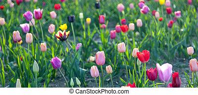beautiful tulips in the field