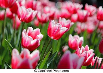 Beautiful Tulips in the morning Sun