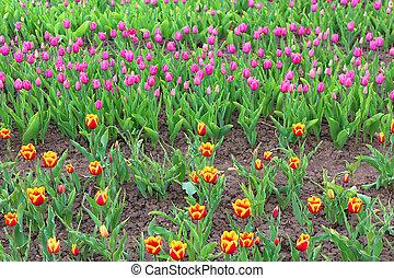 Beautiful tulips in the spring garden