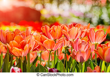 Beautiful tulips in tulip field with bouquet  background