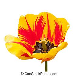 Beautiful tulips isolated on white