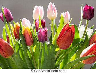 Tulips - beautiful Tulips over a grey background