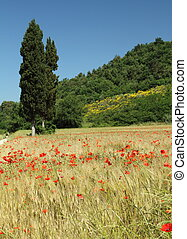 beautiful tuscan fields, Italy