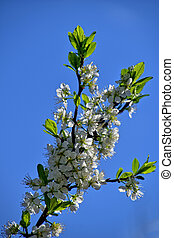 twig of a blossoming apple tree showered with white spring flowers against a blue sky