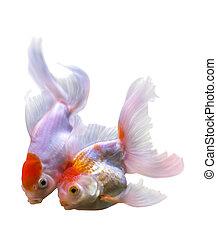 Beautiful two golden fish
