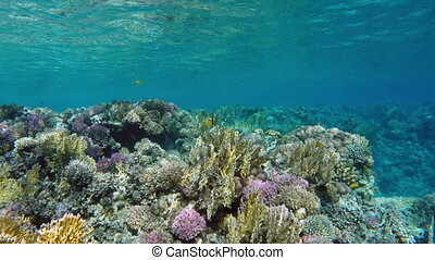 Beautiful underwater landscape with fish swim among corals in the Red Sea