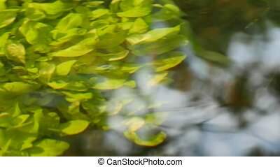 Beautiful underwater plants move in river water stream.