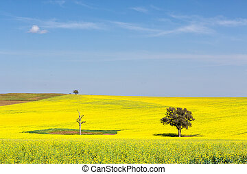 Beautiful undulating canola fields in the spring sunshine