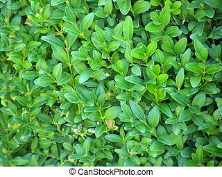 uniform background from the leaves of the bush