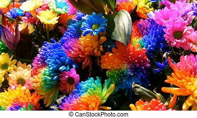 Beautiful unusual interesting multi-colored rainbow peonies,...
