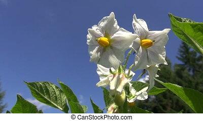 beautiful vegetable potato blossom