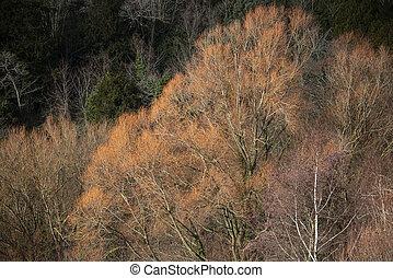 Beautiful vibrant Korean Birch Betula Costata tree in Autumn...