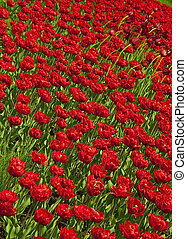 Beautiful vibrant red tulips in field