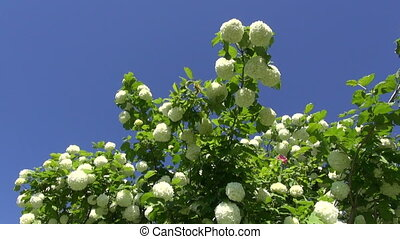 beautiful viburnum blossoms