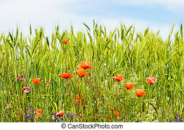 blooming red poppy flowers in a rye field on a sunny day