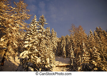 Beautiful view of fir trees on winter mountain slope covered with snow in Alps during sunrise. Background of blue sky