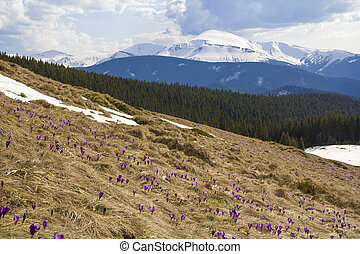 Beautiful view of marvelous blooming amazing first bright violet and white crocuses growing on steep hill. Magnificent mountains and forest in distance. Ecology problems and beauty of nature concept.
