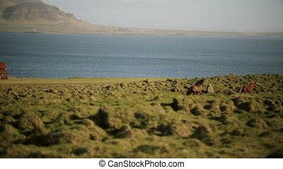 Beautiful view of North nature. The herd of wild icelandic...
