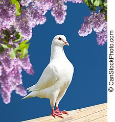 one white pigeon - Beautiful view of one white pigeon on ...