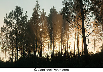Pine trees silhouettes - Beautiful view of Pine trees ...