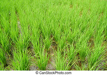 Beautiful view of rice paddy field, Green Rice grows in the field