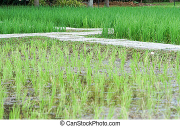 Beautiful view of rice paddy field, Rice grows in the field