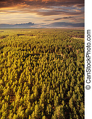 Beautiful view of the tops of pine trees at sunset.